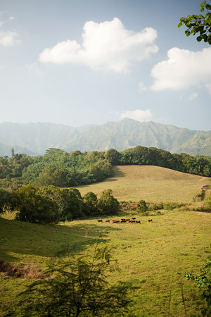 farmyards: Cattle in hawaiian landscape LANG_EVOIMAGES
