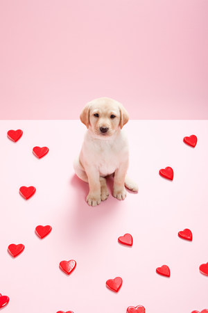 pooches: Labrador puppy and heart shapes LANG_EVOIMAGES