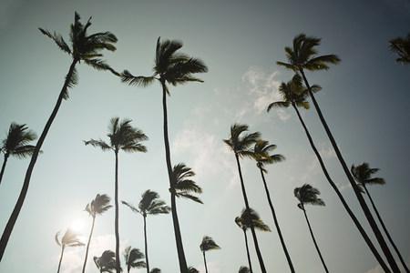 tallness: Palm trees