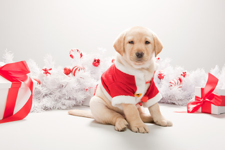 Labrador puppy in christmas costume