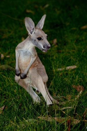 Kangaroo at wildlife park.