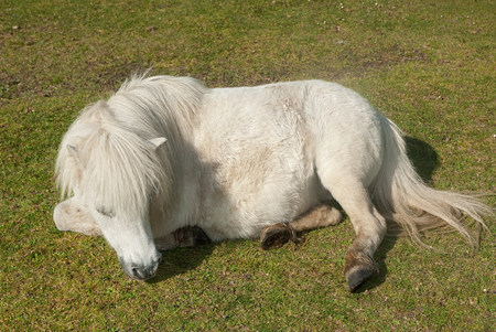 sweet grasses: New forest pony resting in field