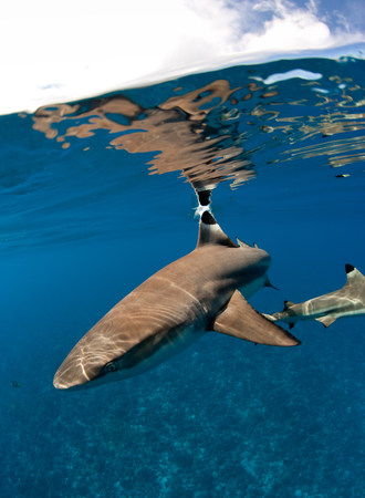 australasia: Blacktip reef shark.