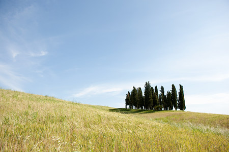 Cypress trees in field, Val dOrcia, Italy