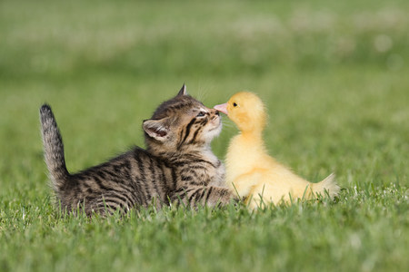 other side: Kitten and duckling on grass