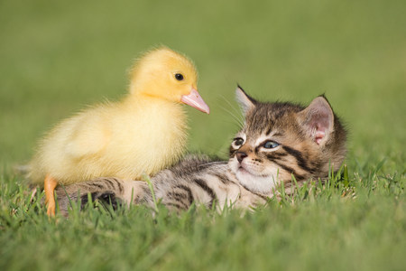 Gatito y el anadón en hierba LANG_EVOIMAGES