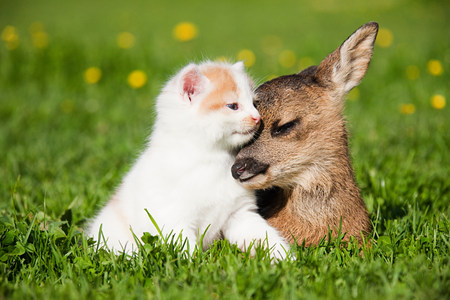 ungulate: Fawn and kitten sitting on grass LANG_EVOIMAGES