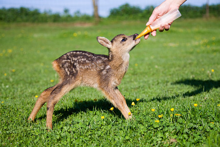 Cute fawn standing on grass being fed milk in bottle