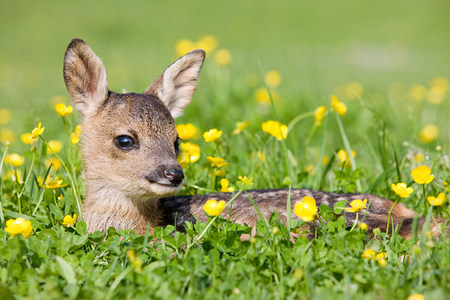 Cute fawn sitting on grass LANG_EVOIMAGES