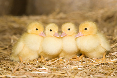 four objects: Four ducklings on straw LANG_EVOIMAGES