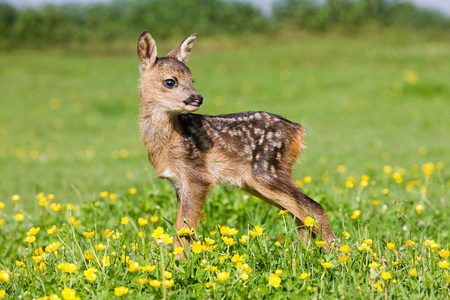 ungulate: Cute fawn standing on grass LANG_EVOIMAGES