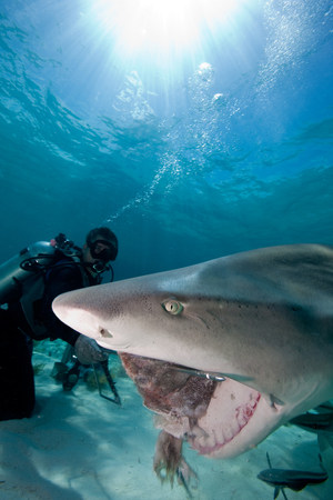bahama: Diver feeds Lemon Shark LANG_EVOIMAGES
