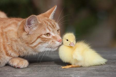 Gato y patito de jengibre