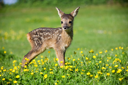 Cute fawn standing on grass LANG_EVOIMAGES