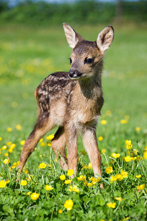 sweet grasses: Cute fawn standing on grass LANG_EVOIMAGES