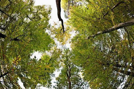 tallness: Low angle view of beech trees in forest