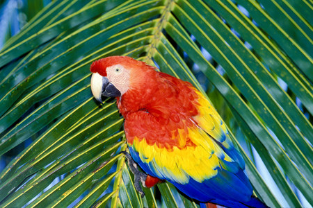 Scarlet macaw on Palm Frond