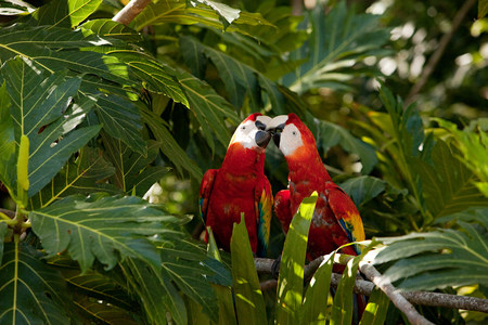 perched: Two scarlet macaws in tree LANG_EVOIMAGES