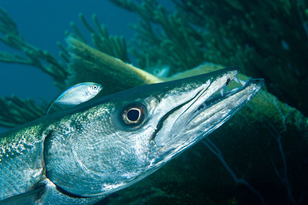 perciformes: Barracuda with pilot fish LANG_EVOIMAGES