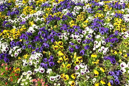 purples: Viola flowers, Bavaria, Germany LANG_EVOIMAGES