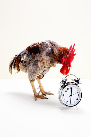 reminding: Rooster standing near alarm clock, studio shot