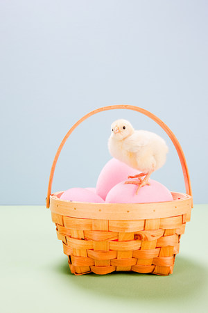 trashy: Chick standing on pink eggs in basket in studio LANG_EVOIMAGES