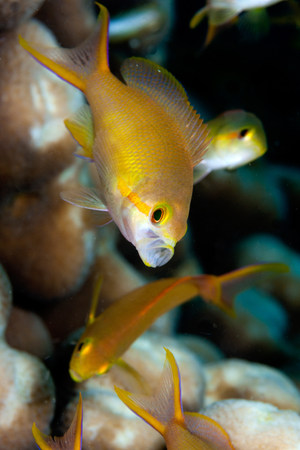 Female Scalefin anthias