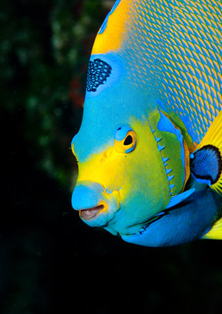 Queen angelfish LANG_EVOIMAGES