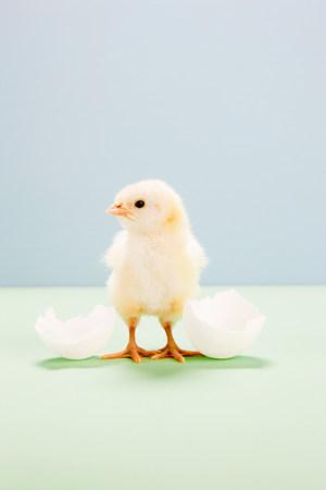 origen animal: Chick standing by broken egg, studio shot