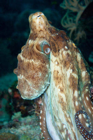 Common octopus on a coral reef LANG_EVOIMAGES