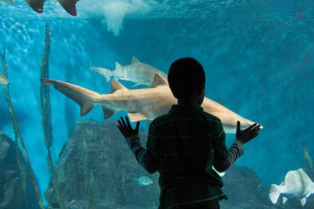 back link: Boy watching sharks in aquarium