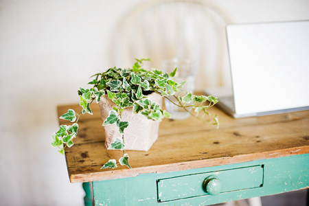 shadowed: Ivy growing out of plant pot on wooden table