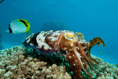 chaetodontidae: Cuttlefish laying eggs in reef