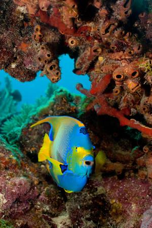 Queen angelfish, Florida LANG_EVOIMAGES