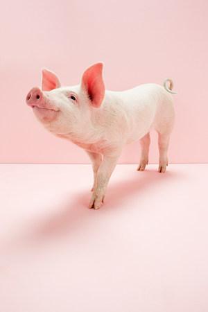 Cochinillo en estudio rosa LANG_EVOIMAGES