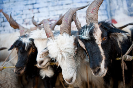 farmyards: Goat herd on farm in Kathmandu, Nepal