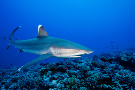 sleek: Majestic silvertip shark LANG_EVOIMAGES