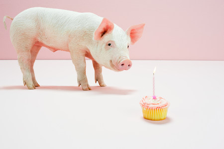 quizzical: Piglet looking at birthday cake in studio LANG_EVOIMAGES