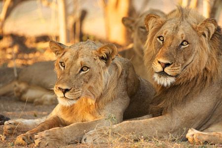 Lions,Mana Pools,Zimbabwe