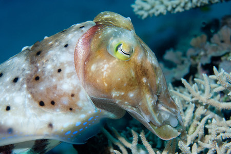 stony coral: Cuttlefish hiding eggs in reef LANG_EVOIMAGES