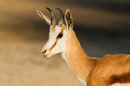 Springbok, portrait LANG_EVOIMAGES