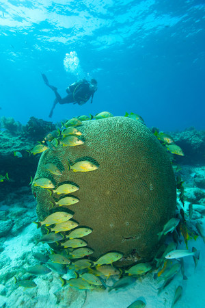perciformes: Scuba diver on coral reef