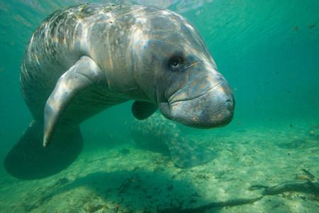 flippers: Manatee de la Florida