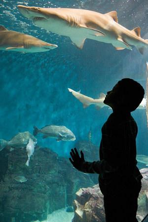Boy watching sharks in aquarium