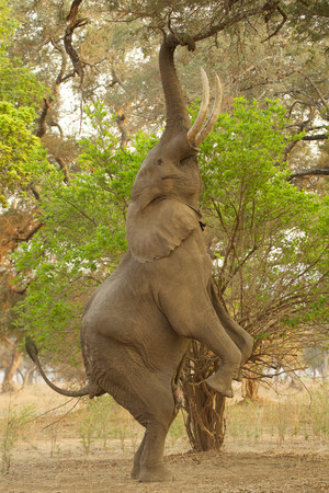 African elephant reaching for branches