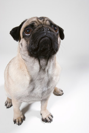 Pug dog,portrait