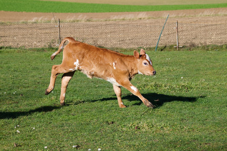 farmyards: Calf in field LANG_EVOIMAGES
