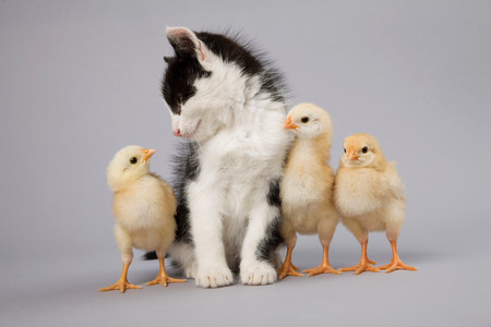 out of context: Kitten and chicks
