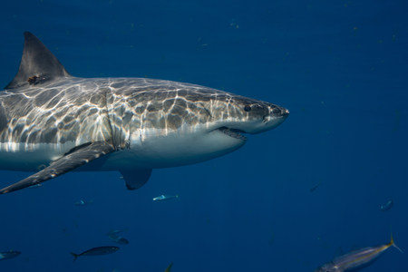 Great White Shark,Mexico