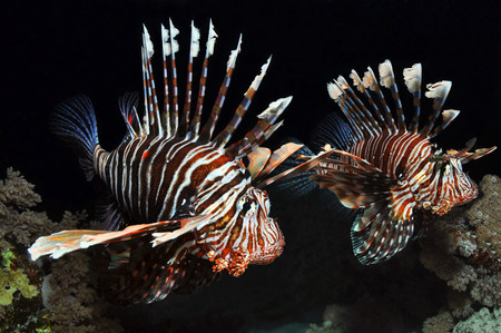 stripy: Two Lionfish in the Red Sea,Egypt